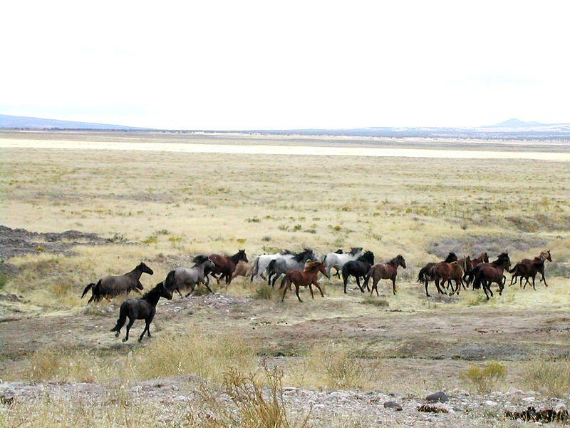 Wild horses on public rangeland in Utah