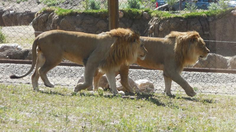 Vulcan and Baron, two male lions on display at Utah's Hogle Zoo