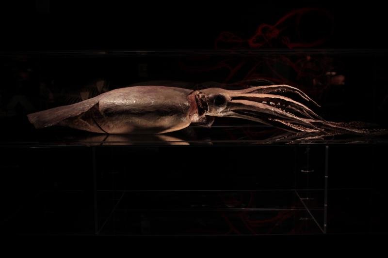 A giant squid at the Leonardo's Animal Inside Out exhibit