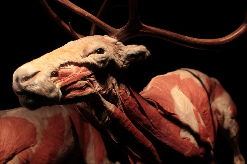 A reindeer with it's skin removed at The Leonardo's Animal Inside Out exhibit.
