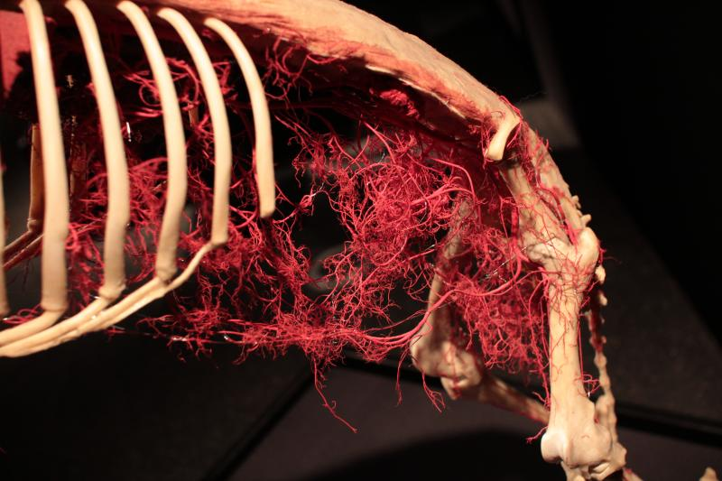 Body Worlds Animal Inside Out Exhibit opens May 10 at The Leonardo
