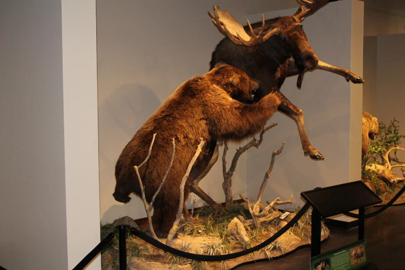 This diorama of a grizzly bear attacking a moose is among the new exhibits at the Monte L. Bean Life Science Museum at Brigham Young University