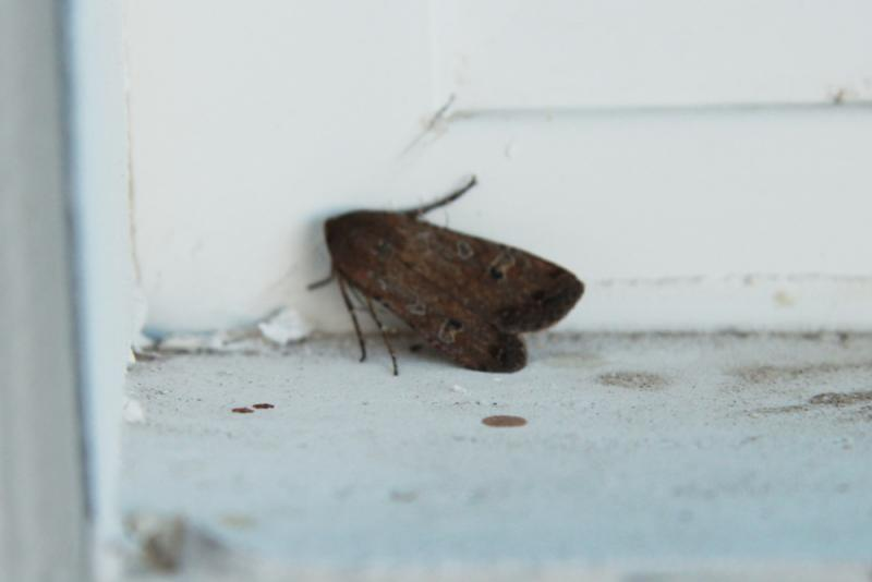 An Army Cutworm Moth