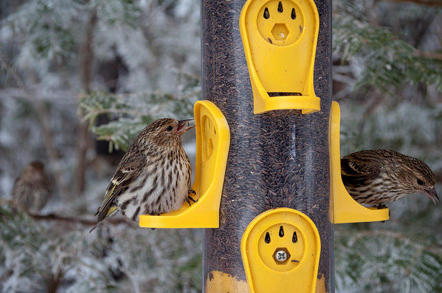 By comparing curious migration trends of pine siskins and certain climate trends, scientists were able to see how climate, food supplies and bird migration.
