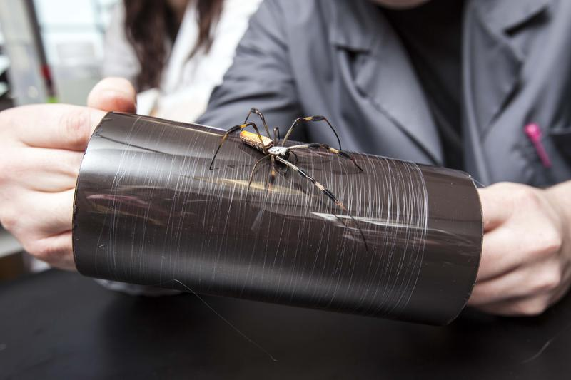 A Golden Orb Weaver sits on the synthesized spider silk created from proteins based on the Golden Orb Weaver's genes