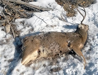 Recently poached buck in Emery County