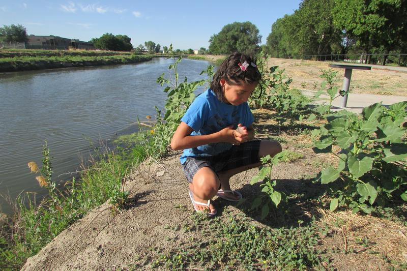 Ember Shearer-Davis releases weed-eating puncturevine weevil along the Jordan River. Weevils have successfully treated sections of the riverbank below 3300 South, and the Jordan River Commission is hopeful about Friday's volunteer effort.