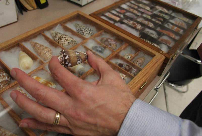 University of Utah Professor Michael McIntosh shows the specific cone snail his painkiller research is based upon.