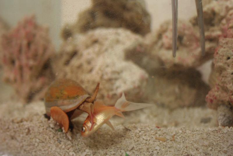 A cone snail in the McIntosh lab strikes a goldfish, paralyzing it.