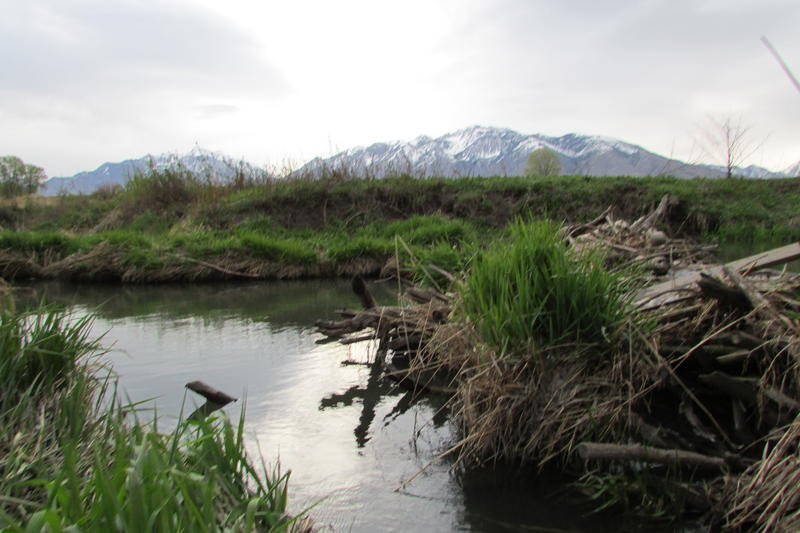The Big Willow Creek beaver dams, including this one here, serve as a central feature of vital urban wetlands.