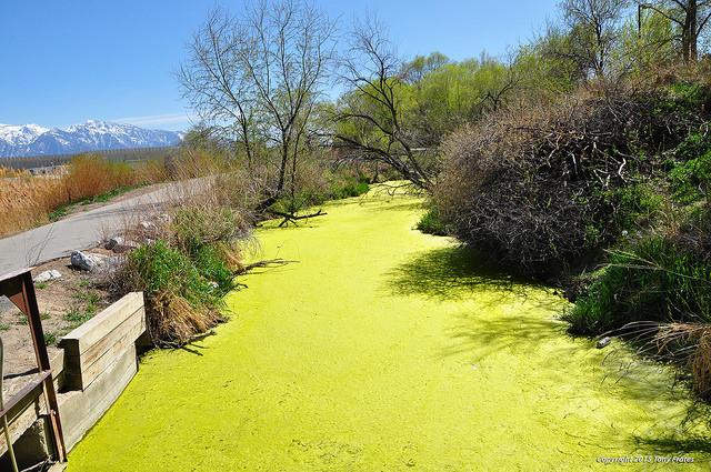 This algal bloom on a channel of the Jordan River happened in 2015, but the river is once again has a warning because of toxic algae. It's a trend in Utah -- and pretty much everywhere else.