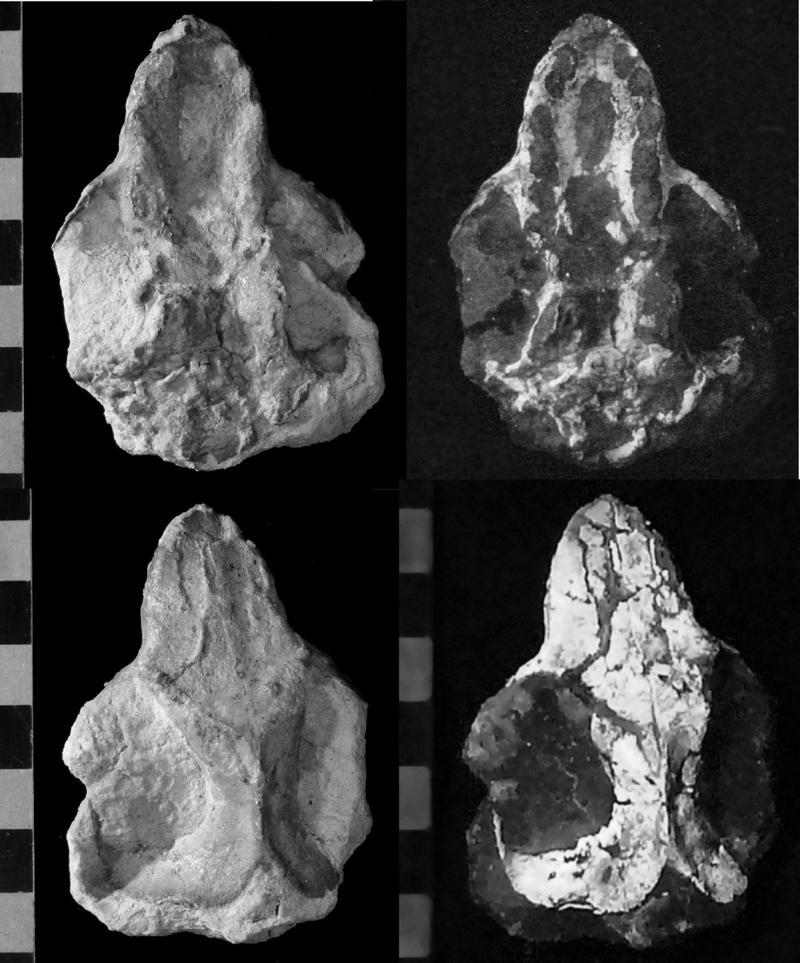 Images of haramiyid skull known as Cifelliodon wahkarmoosuch.