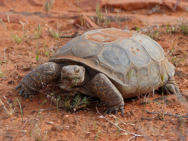 The dispute over legislation proposed by U.S. Rep. Chris Stewart, R-Utah, centers on the Mojave Desert Tortoise, shown here. The bill's supporters say tortoise habitat will be preserved even with the new highway, which is need to accomodate growth.