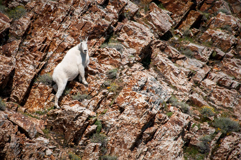 A mountain goat being counted by helicopter.