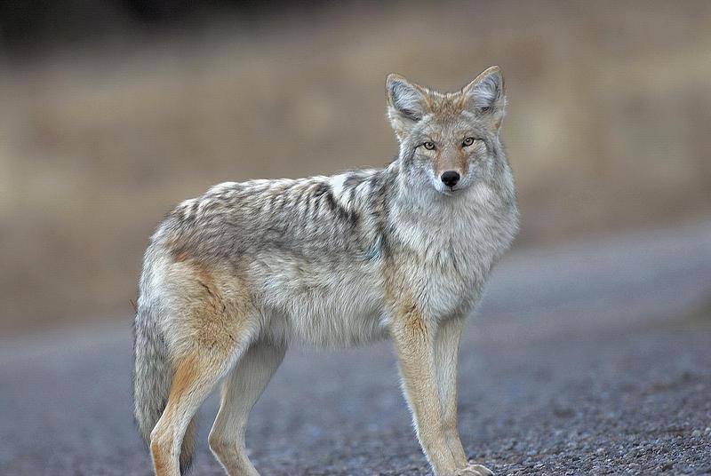 Coyote in Utah