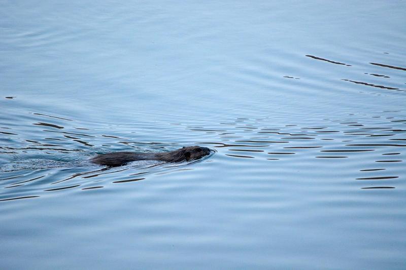 Beaver swims across Red Butte Reservoir.