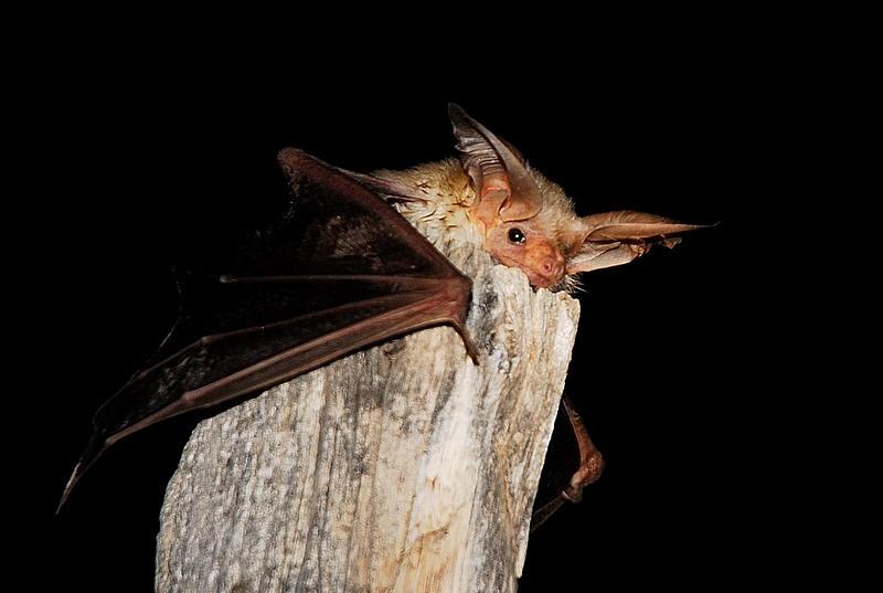 A bat recovers during Meet the Bats Night