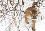 A cougar from the Oquirrh mountains in N. Utah.