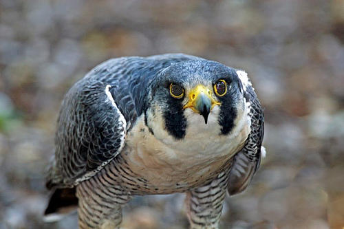 """Peregrine Falcon. Photo by <a href=\""""http://www.flickr.com/photos/80835774@N00/218633316/in/photostream/\"""" target=\""""_blank\"""">Picture Taker 2</a> on flickr.com"""