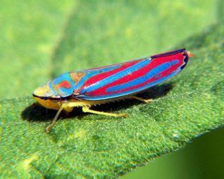 A leafhopper.