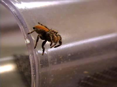 Sounds from the Arizona Jumping Spider can now be heard, thanks to new technology.