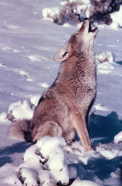Coyote Howling, Yellowstone National Park