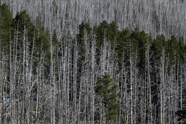 Dead trees in Yellowstone National Park.<br><br>