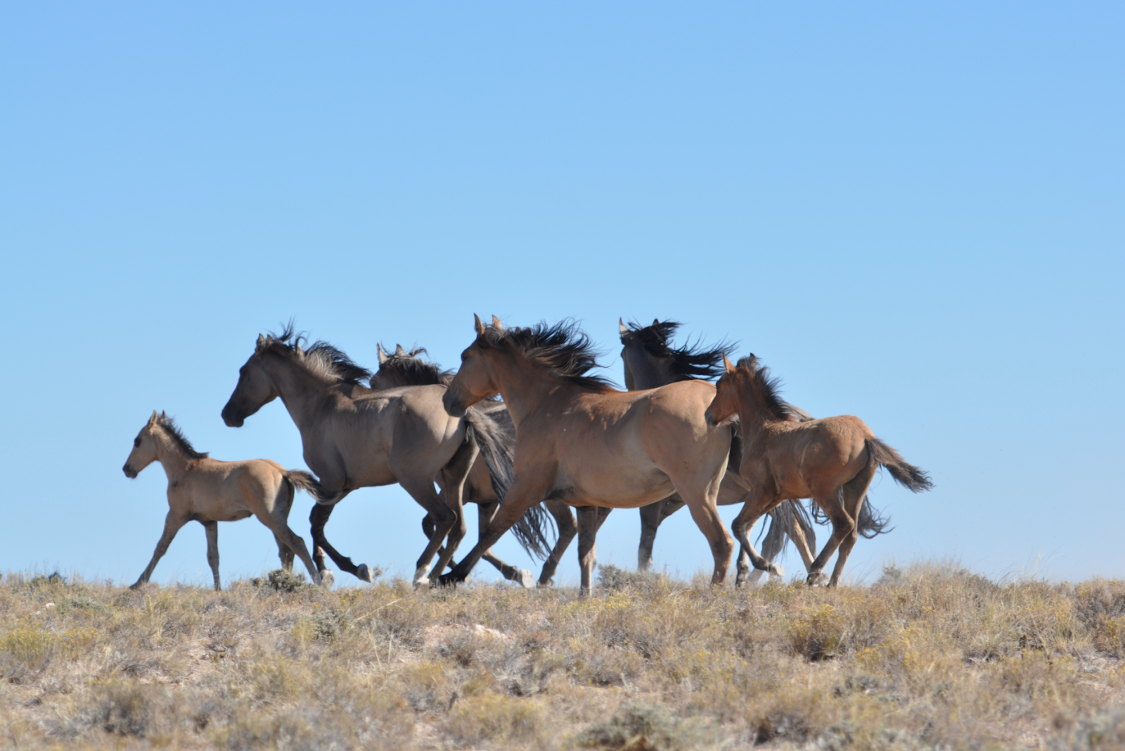 Herd Of Wild Horses On Blm Land
