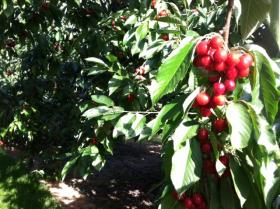 Growers started harvesting cherries along the east shore of Flathead Lake this week.