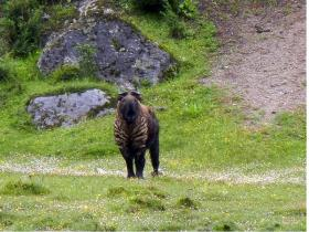 """Takins"" are the national mammal of Bhutan"