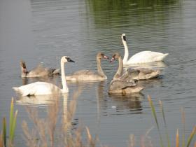 Trumpeter Swans and Cygnets.