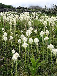 Beargrass (Xerophyllum tenax) blooming along Glacier National Park's Iceberg Lake Trail, Montana.