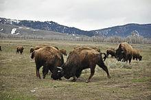 Male bison fighting, Grand Teton N.P.