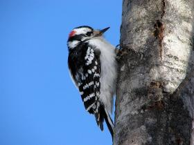 Adult male Downy Woodpecker, Picoides pubescens.