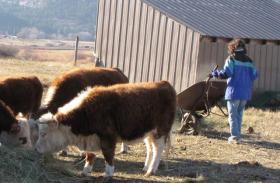 Lighthouse Cristian Home resident Sara Maldonado feeds the cows as part of her morning chores.