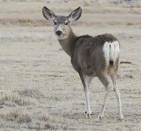 Female mule deer (Odocoileus hemionus)