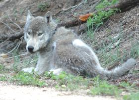 Radio-collared wolf born in Idaho, later migrated to Montana