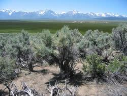 Big Sagebrush (Artemisia tridentata)
