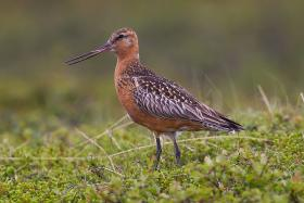 Bar-tailed godwith (Limosa lapponica) in breeding plumage.