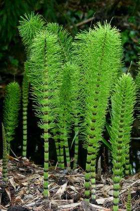 Common Horsetail (Equisetum arvense)