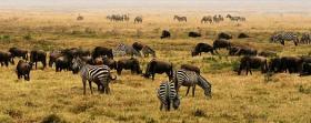 Plains Zebra (Equus quagga) and Blue Wildebeests (Connochaetes taurinus) in Ngorongoro Crater, Serengeti, Tanzania, Africa