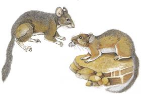Bushy-tailed woodrats (Neotoma cinerea). The darker coat on the left is typical of cooler climates) than the lighter coat on the right.