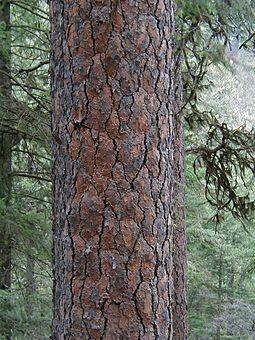 Ponderosa pine tree bark, Idaho