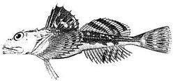 Longhorn sculpin (Myoxocephalus octodecemspinosus)