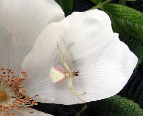 Flower crab spider (Misumena vatia), camouflaged white on a rose petal.