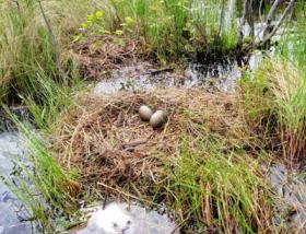 Nest of a common loon, with eggs