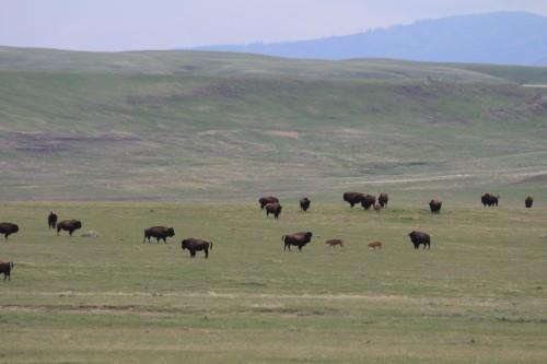 Bison at Fort Belknap