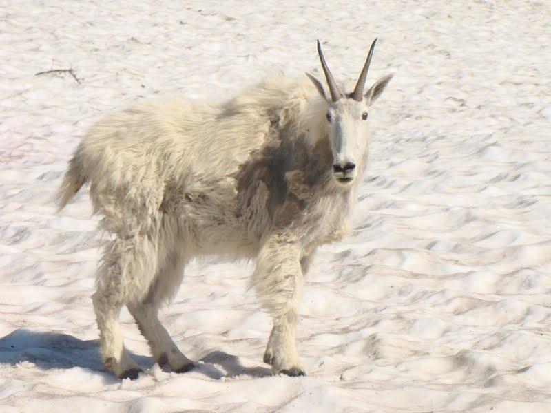 Mountain goat in Glacier National Park.