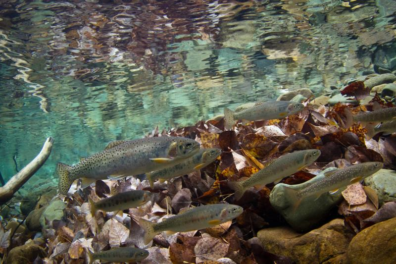 Bull Trout and Westslope Cutthroat Trout