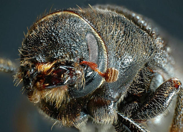 Some Predict Ponderosas May Be At Risk For Pine Beetle Infestations